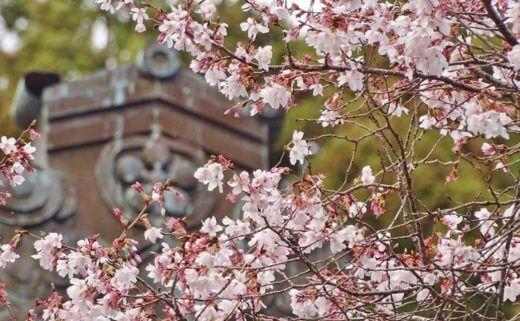 【緊急企画その2】【今だけ素泊まり50%OFF】 樹齢400年のしだれ桜をゆっくり堪能プラン【朝夕食追加可能】